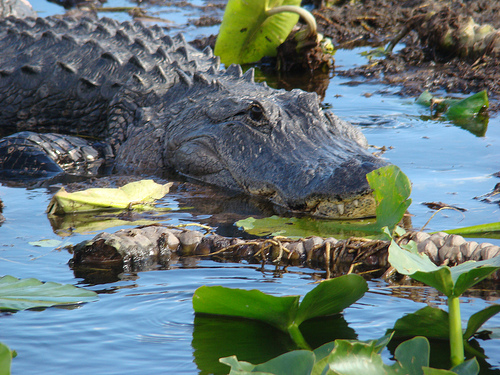 kissimmee swamp tours Orlando Florida